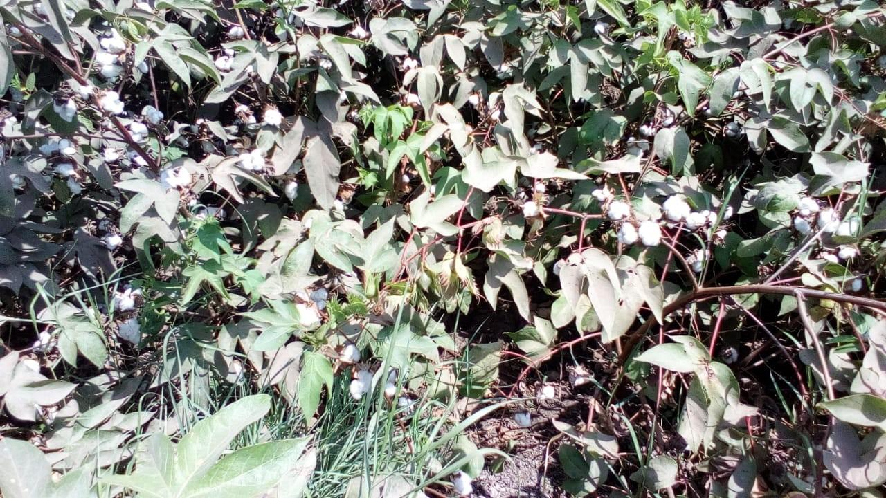 محصول القطن  (4)