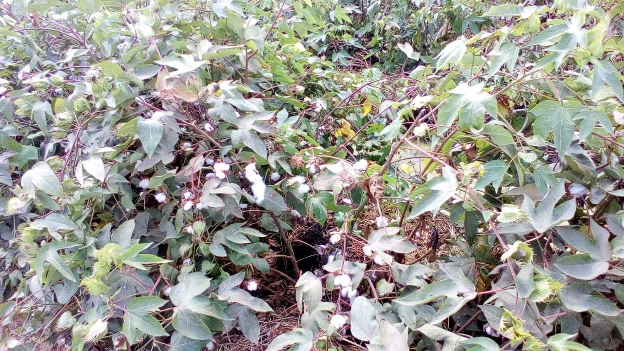 محصول القطن  (2)