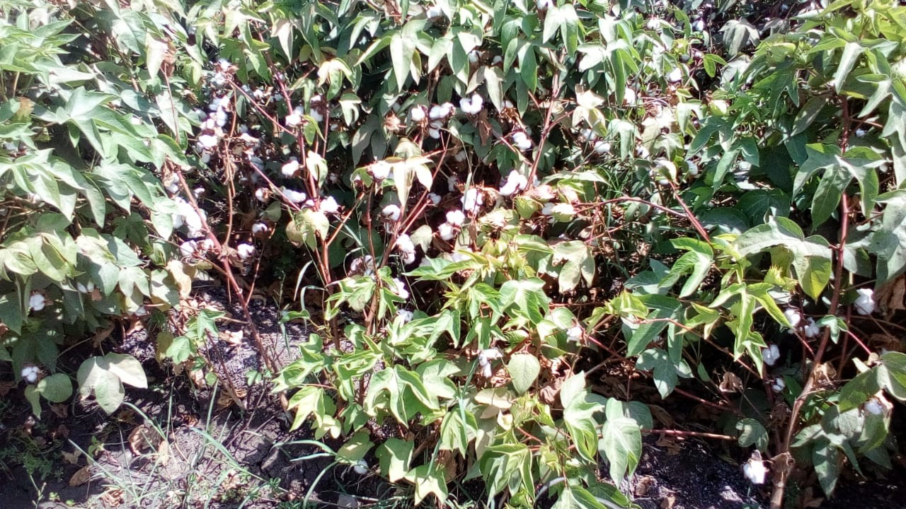 محصول القطن  (5)
