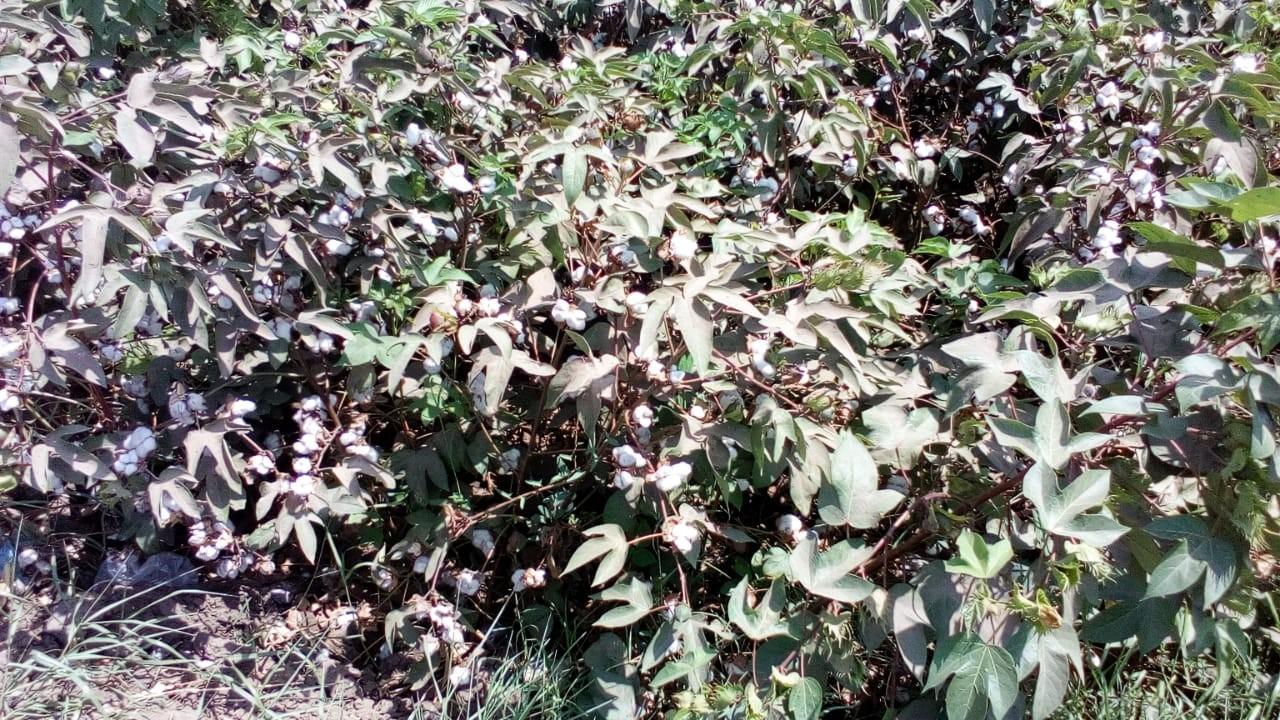 محصول القطن  (1)