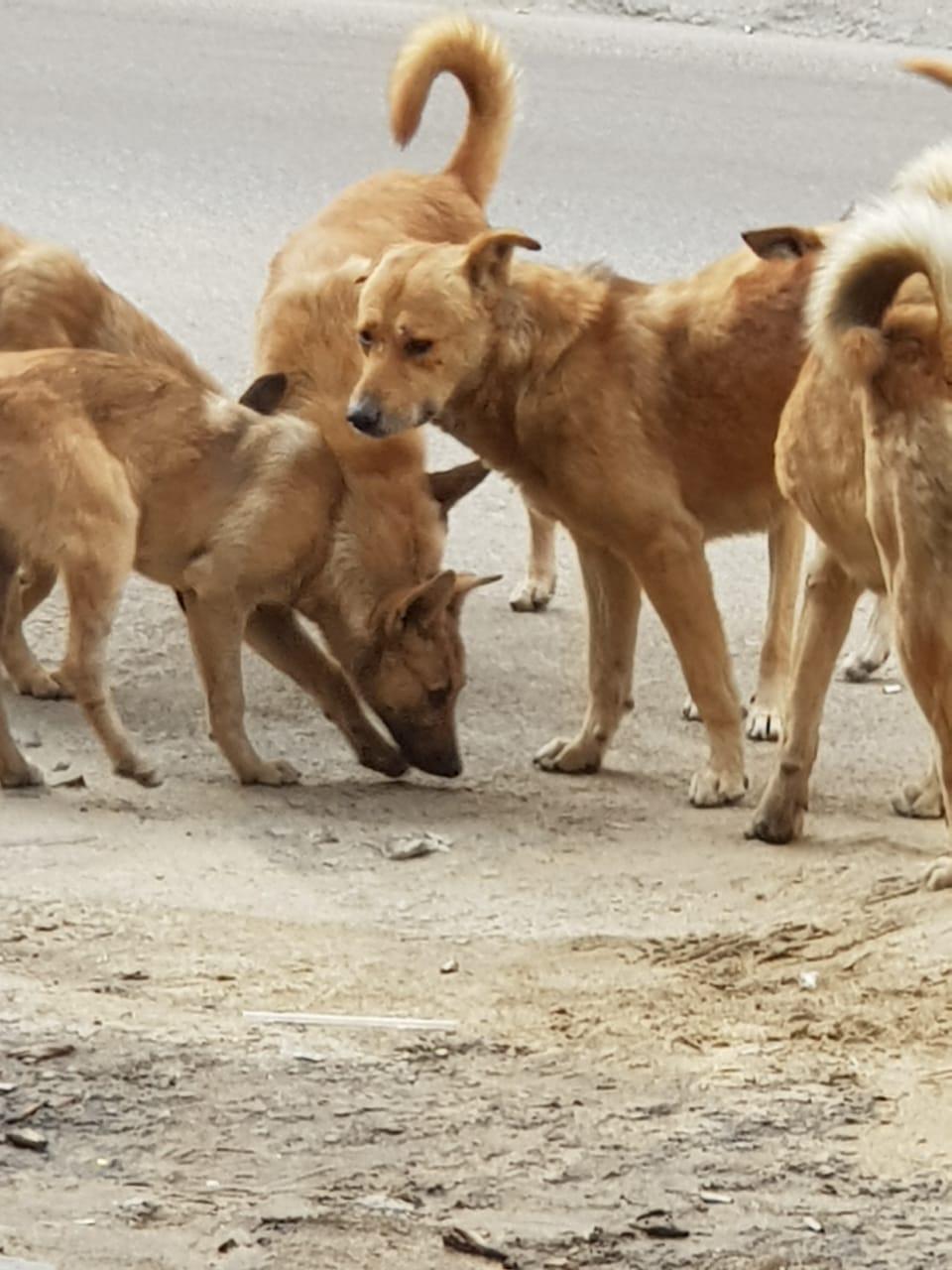 الكلاب الضالة بسيدى بشر فى الإسكندرية (2)