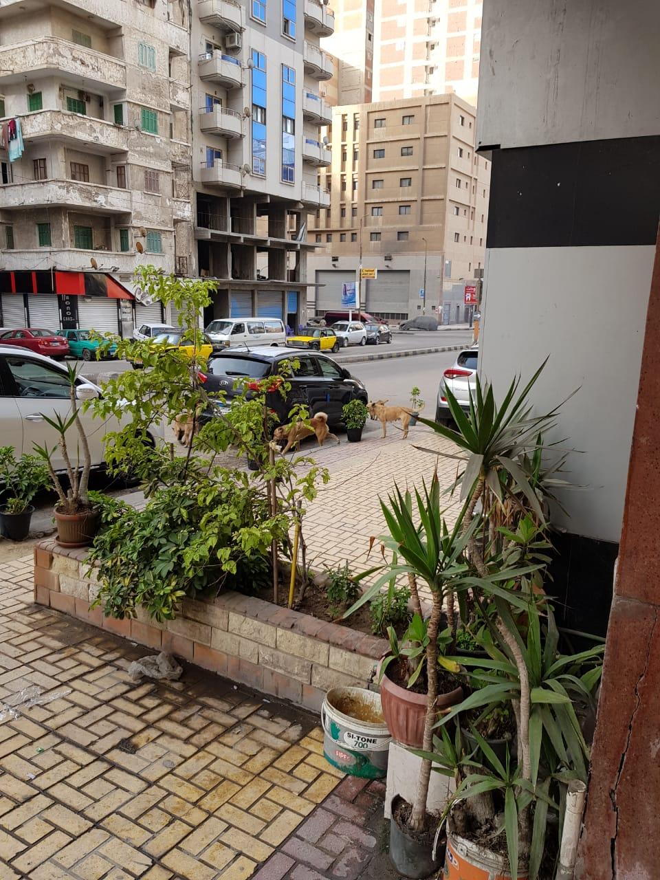 الكلاب الضالة بسيدى بشر فى الإسكندرية (1)