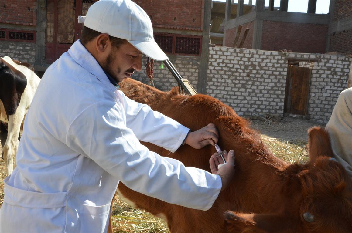 الطب البيطري بالأقصر تستعد للحملة القومية الثانية لتحصين 65 ألف رأس ماشية  (1)