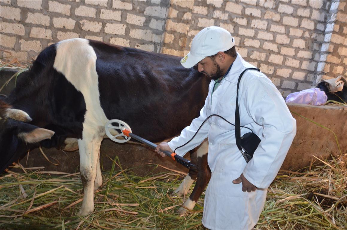 الطب البيطري بالأقصر تستعد للحملة القومية الثانية لتحصين 65 ألف رأس ماشية  (4)