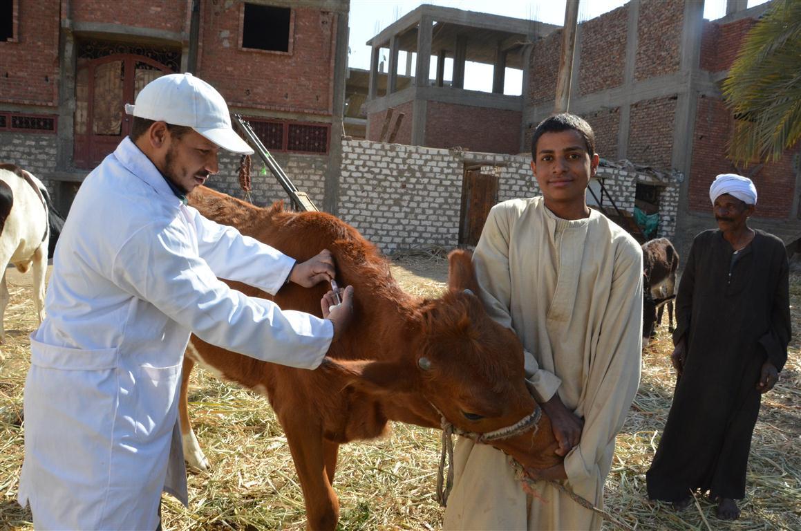 الطب البيطري بالأقصر تستعد للحملة القومية الثانية لتحصين 65 ألف رأس ماشية  (3)