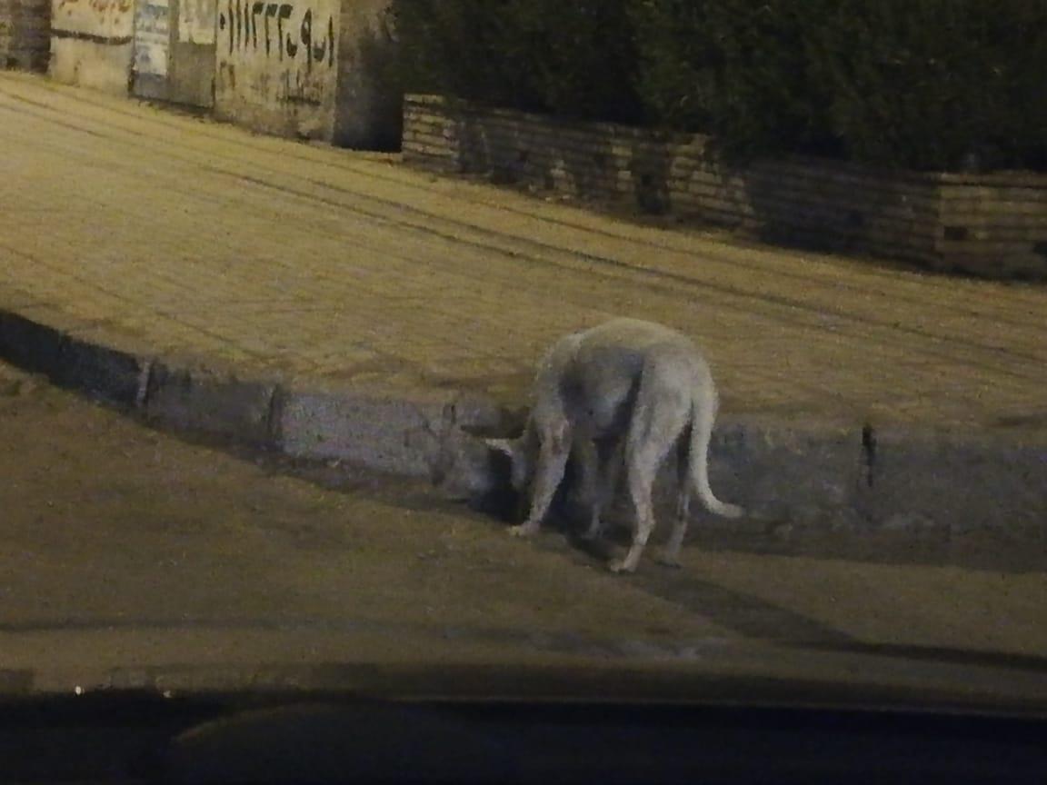 الكلاب الضالة بمنطقة شيراتون المطار بالنزهة  (2)