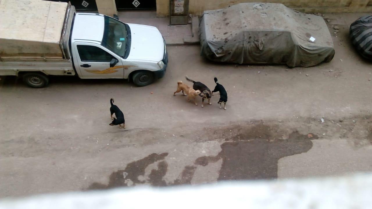 الكلاب الضالة بشارع المرأة الجديدة فى مصر القديمة