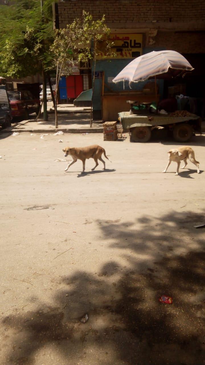 الكلاب الضالة خلف نادى المقاولون العرب