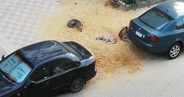الكلاب الضالة بمنطقة شيراتون المطار بالنزهة