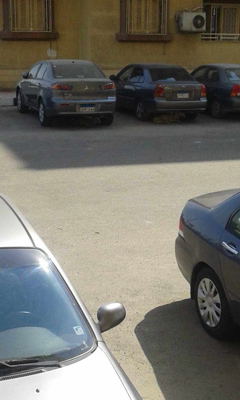 الكلاب الضالة أسفل السيارات بمساكن الضباط (2)