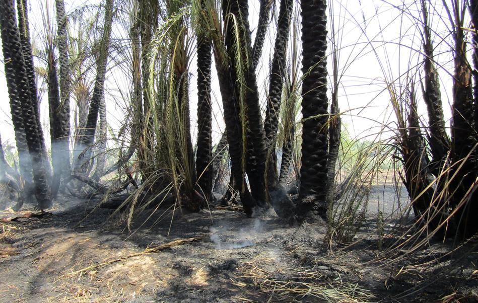 السيطرة علي حريق إلتهم عدد من أشجار النخيل بقرية السريب بإسنا (3)