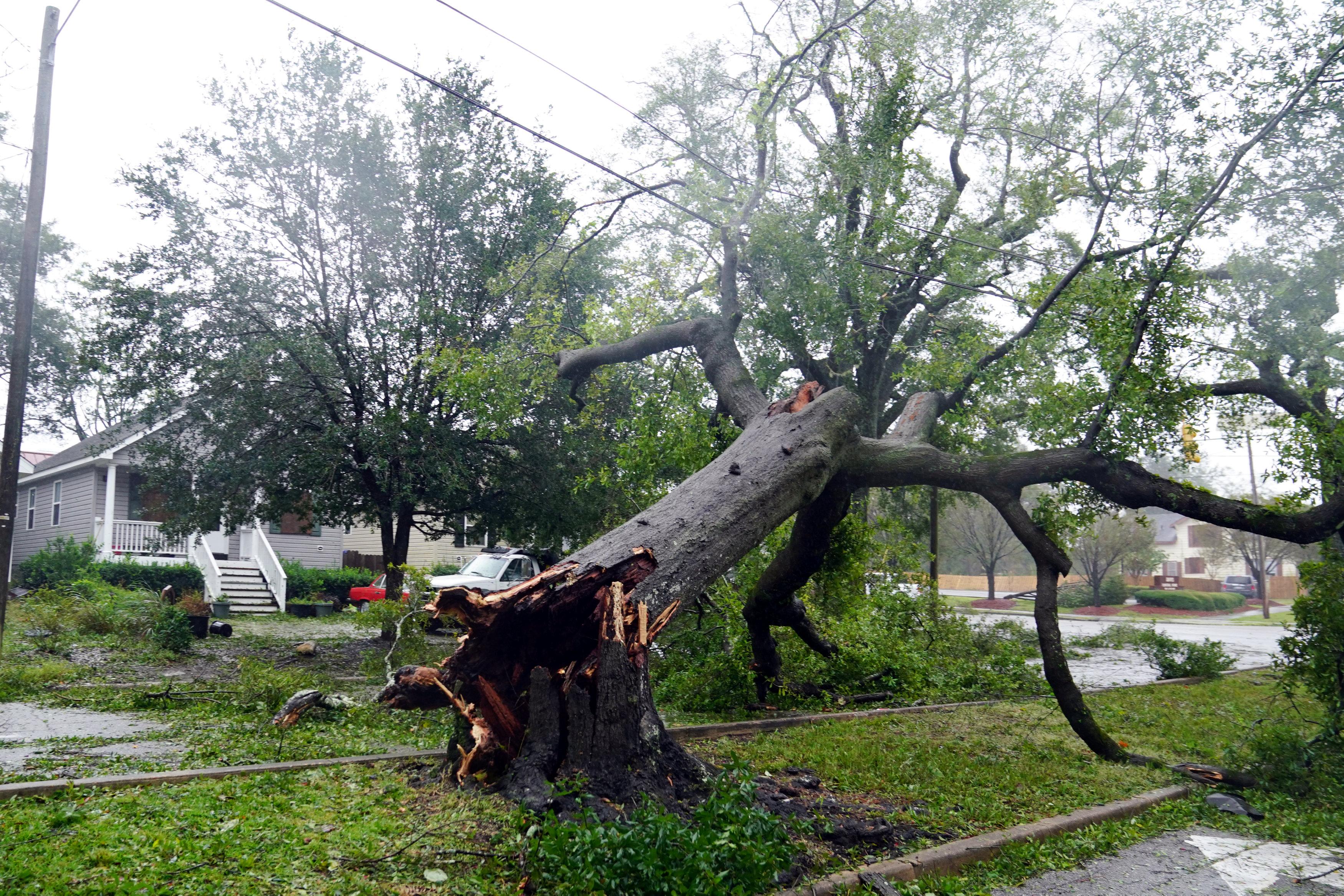 فلورنس يقطع شجرة