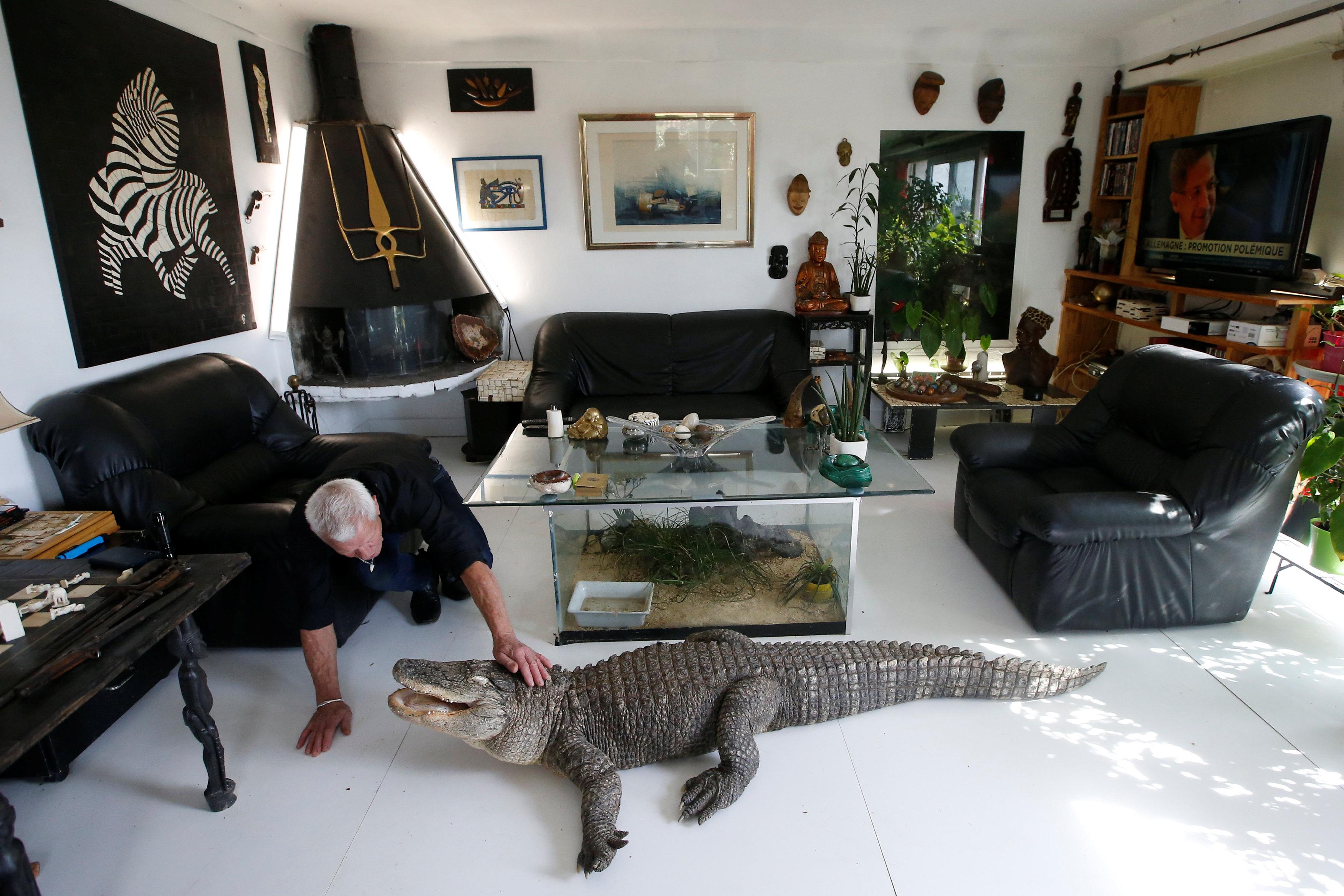 تمساح مع المسن الفرنسى