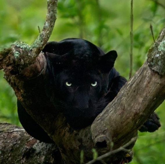 نمر أسود
