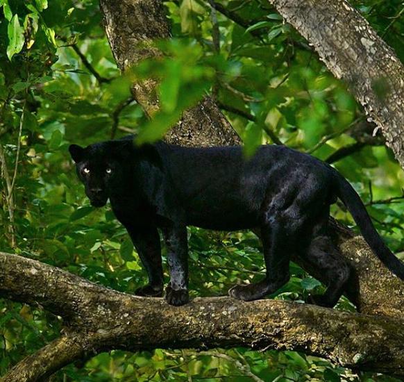 نمر أسود على الشجرة