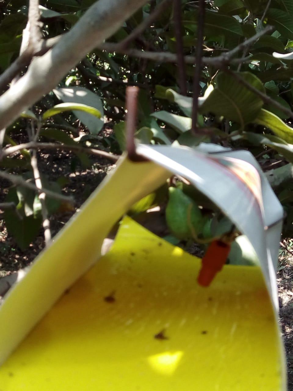 جنى محصول الجوافة (8)