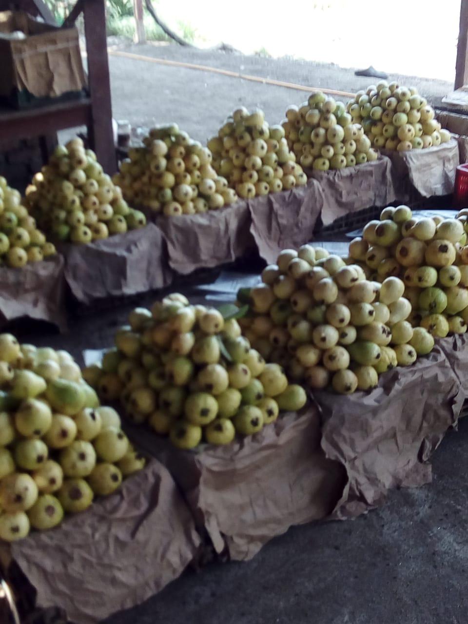 جنى محصول الجوافة (2)