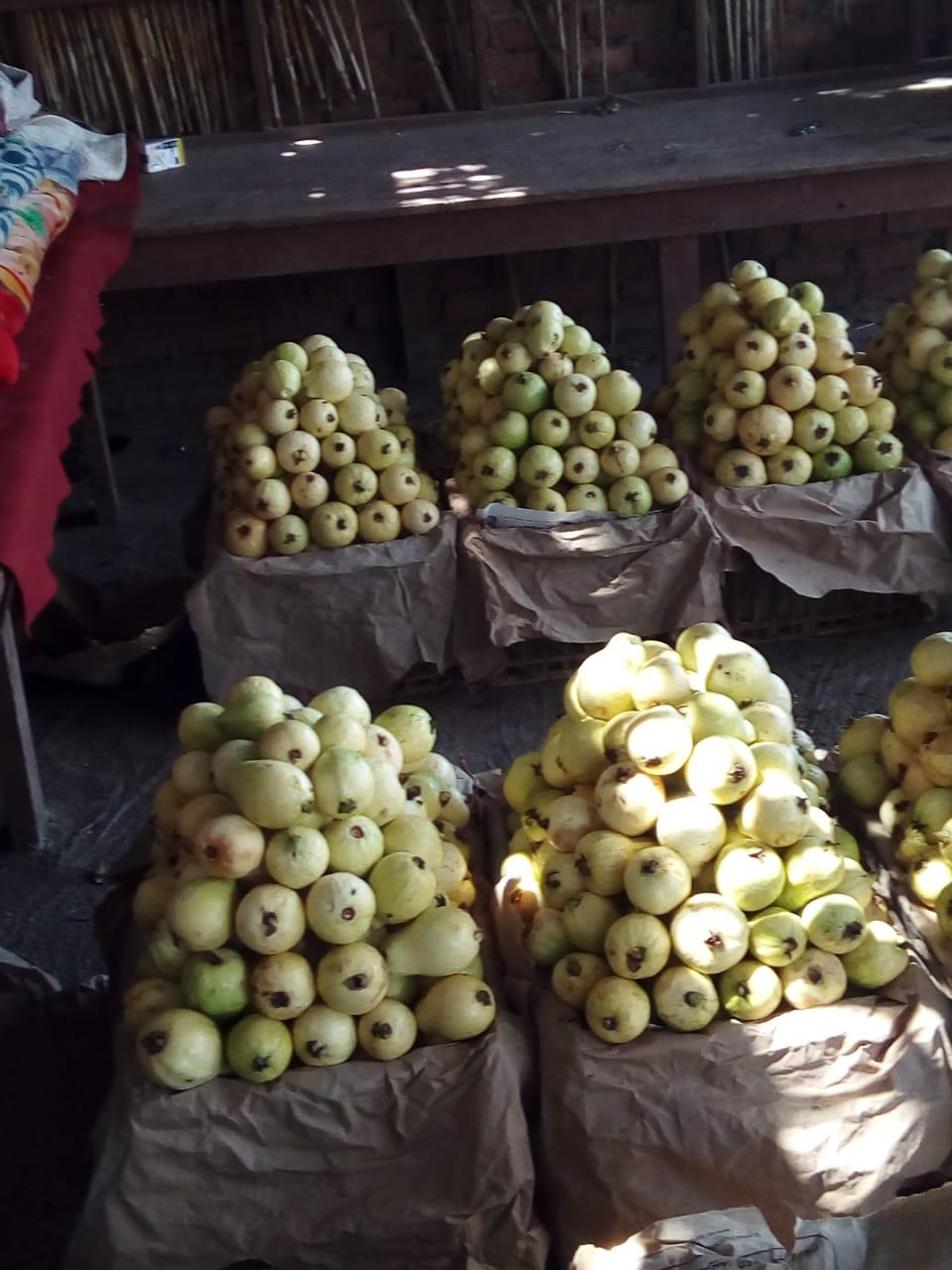 جنى محصول الجوافة (20)