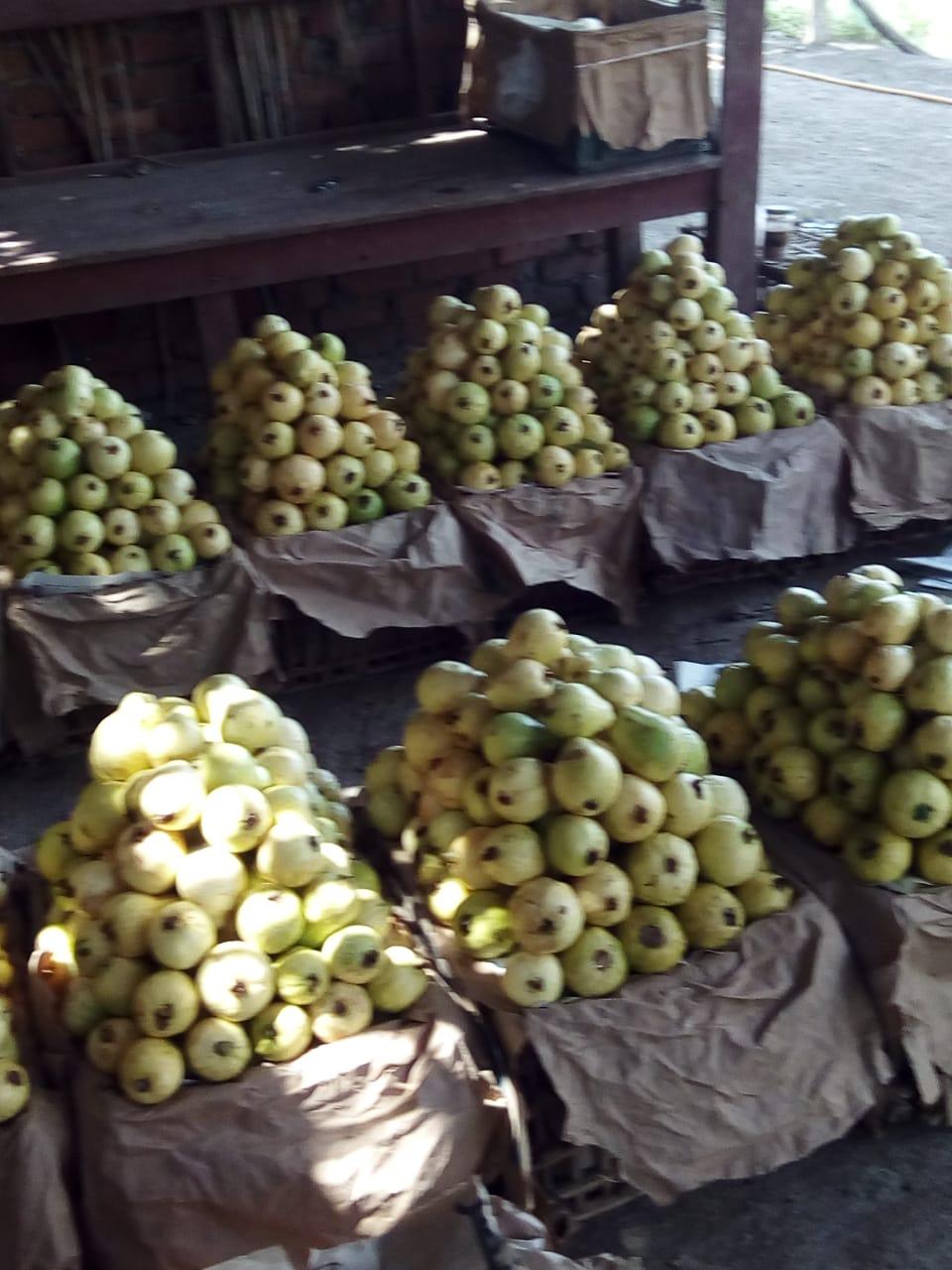 جنى محصول الجوافة (10)