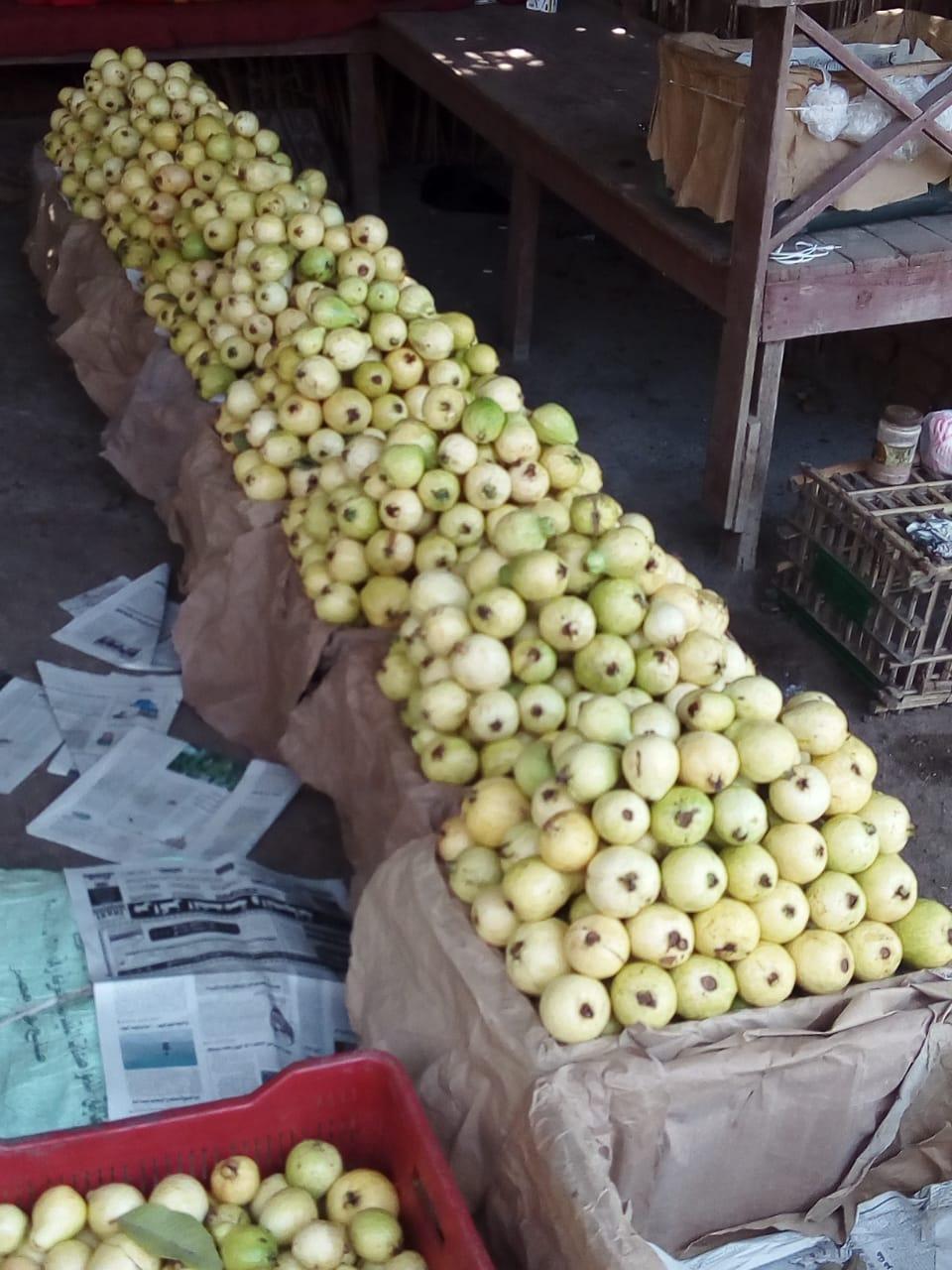 جنى محصول الجوافة (14)