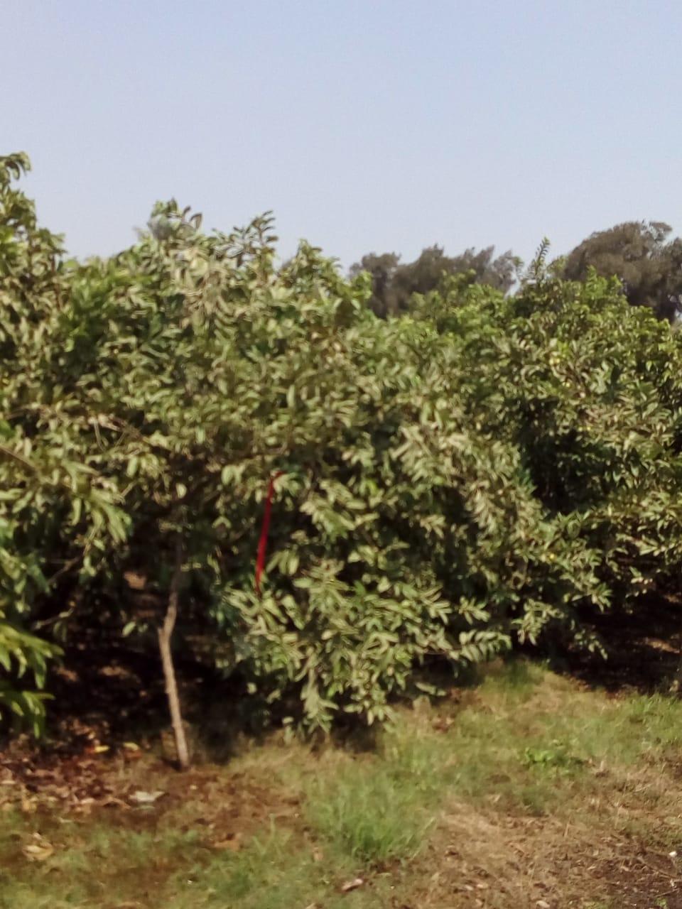 جنى محصول الجوافة (7)