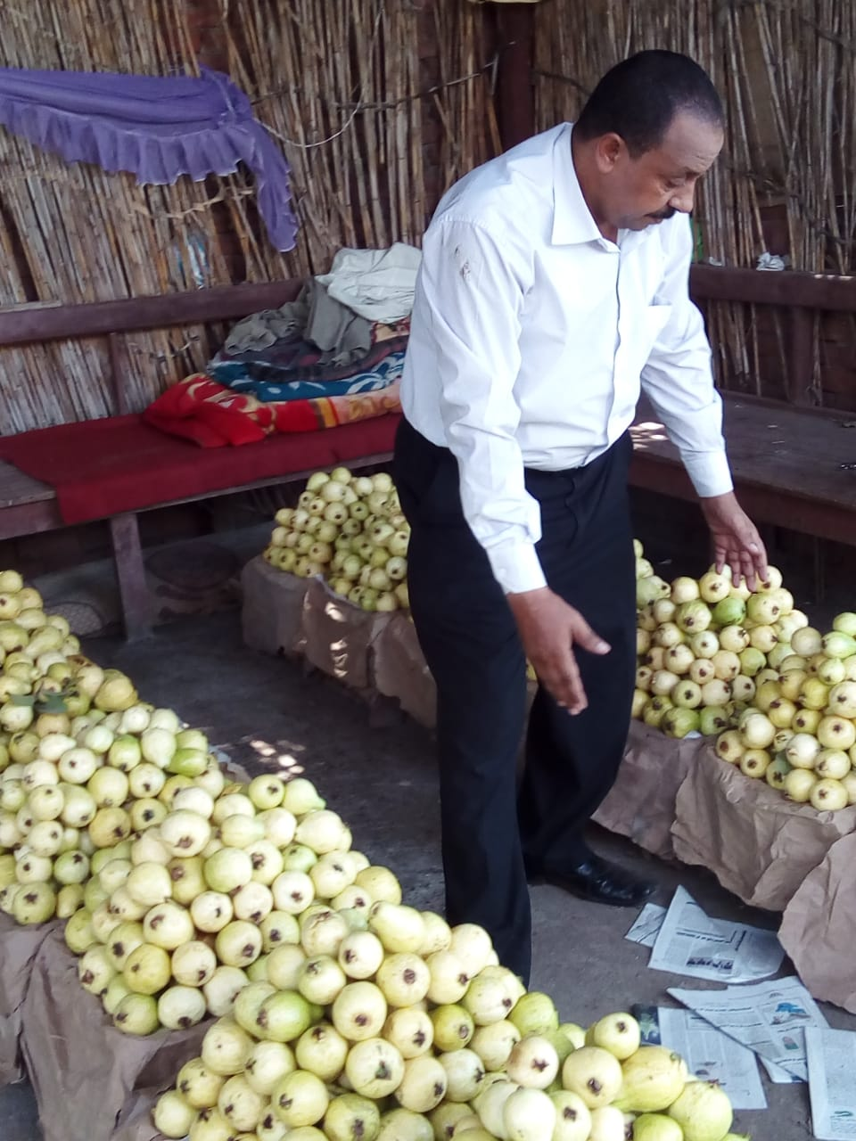 جنى محصول الجوافة (6)