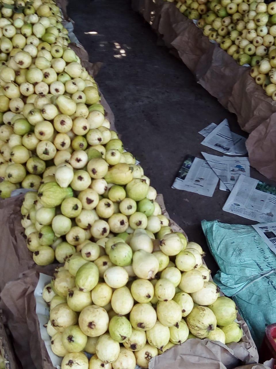 جنى محصول الجوافة (17)