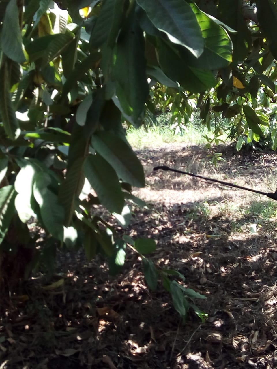 جنى محصول الجوافة (22)