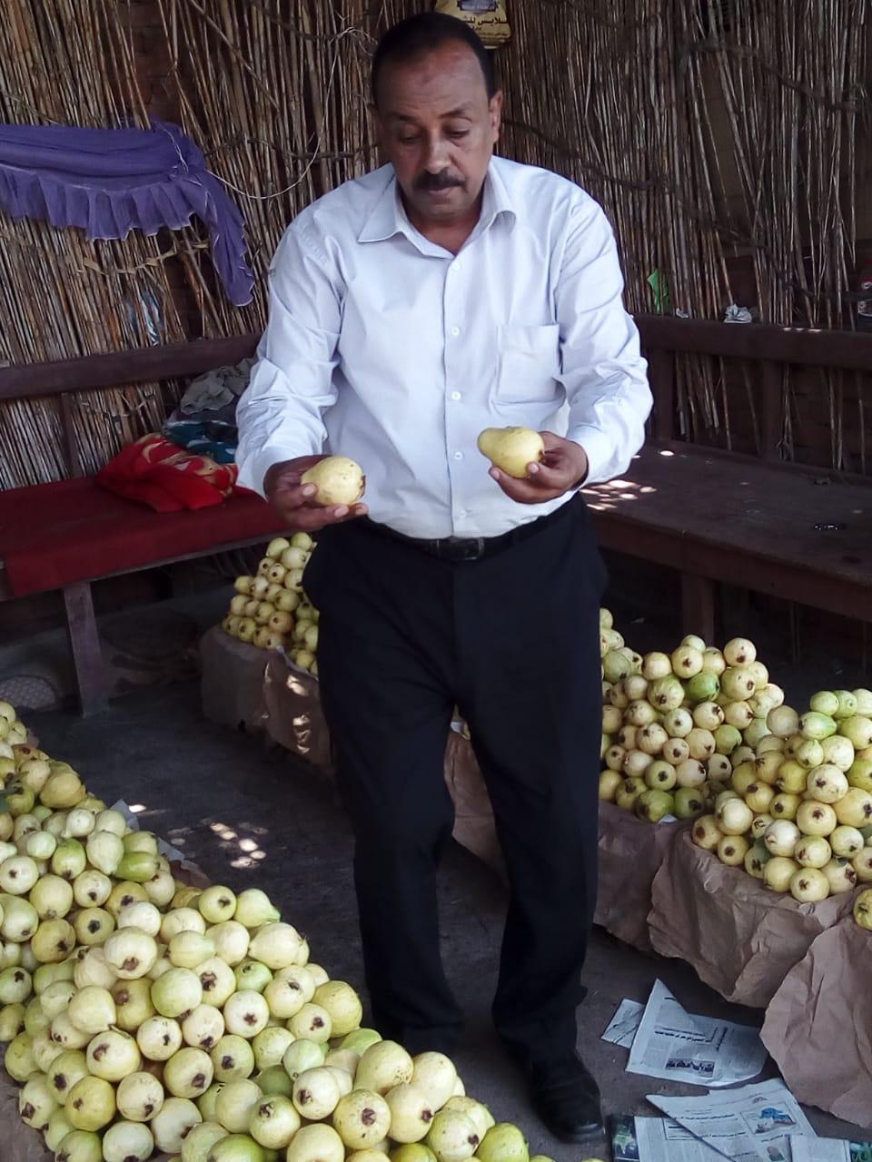 جنى محصول الجوافة (24)