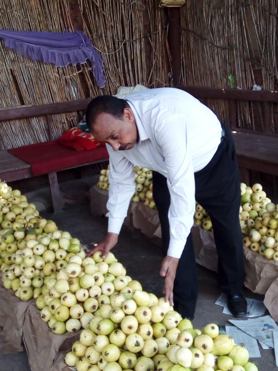 جنى محصول الجوافة (18)