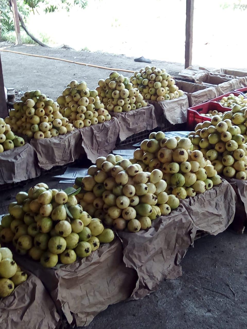 جنى محصول الجوافة (23)