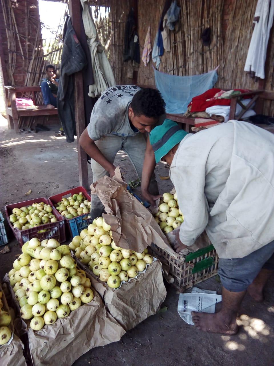 جنى محصول الجوافة (11)