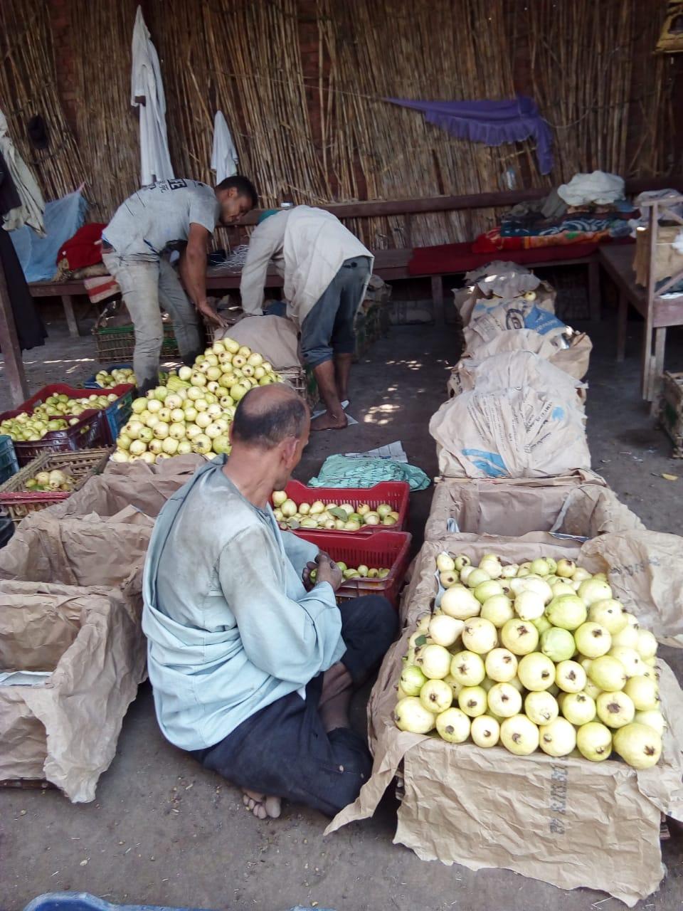 جنى محصول الجوافة (13)