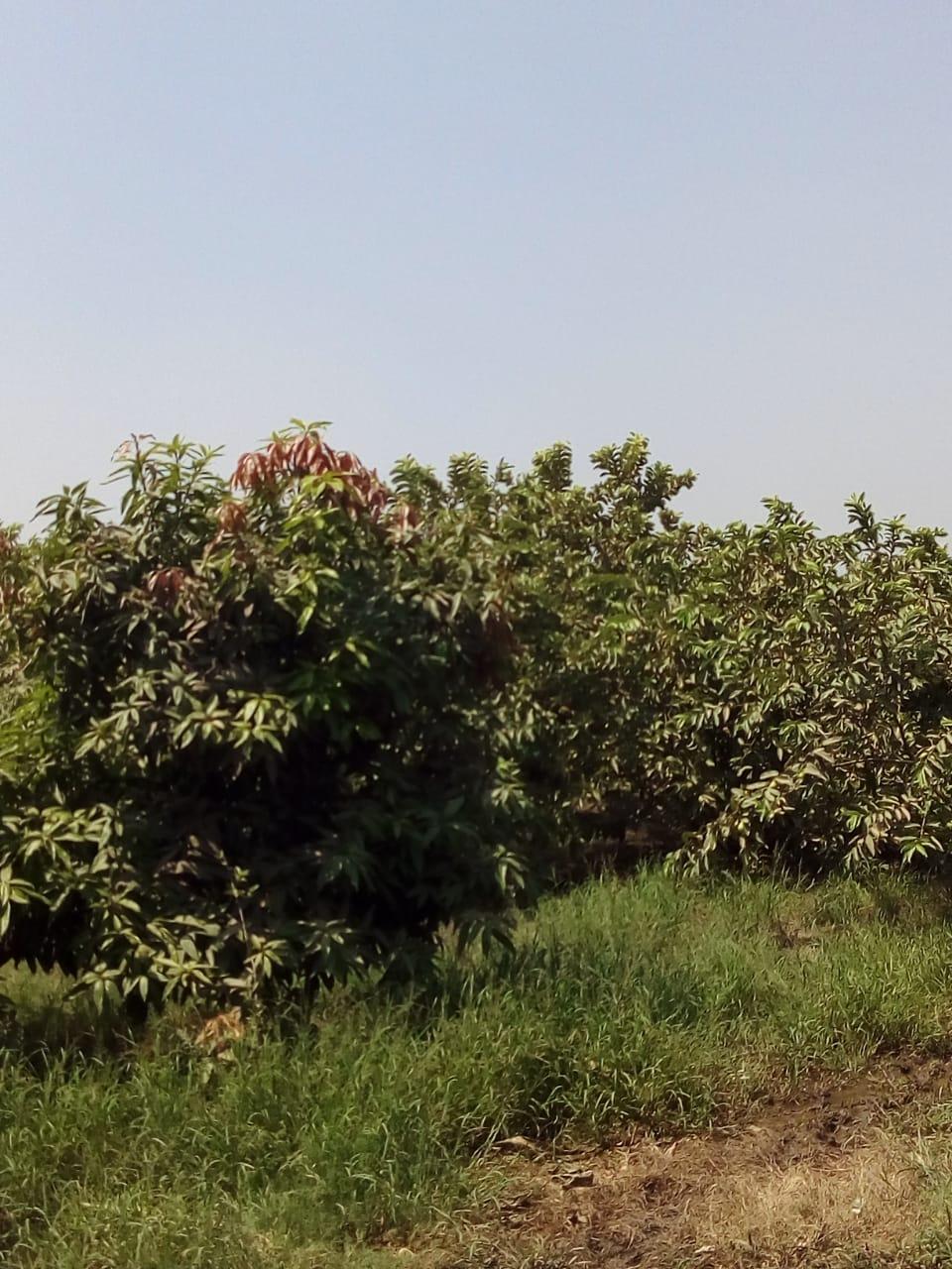 جنى محصول الجوافة (4)