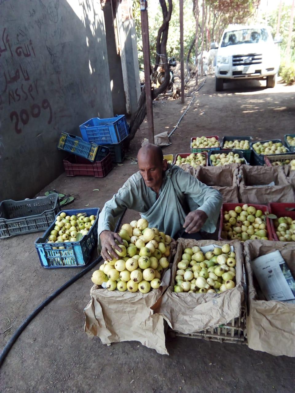 جنى محصول الجوافة (5)