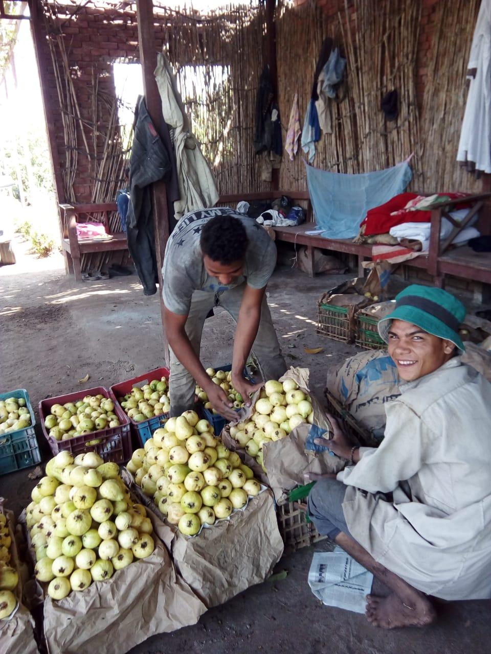 جنى محصول الجوافة (26)