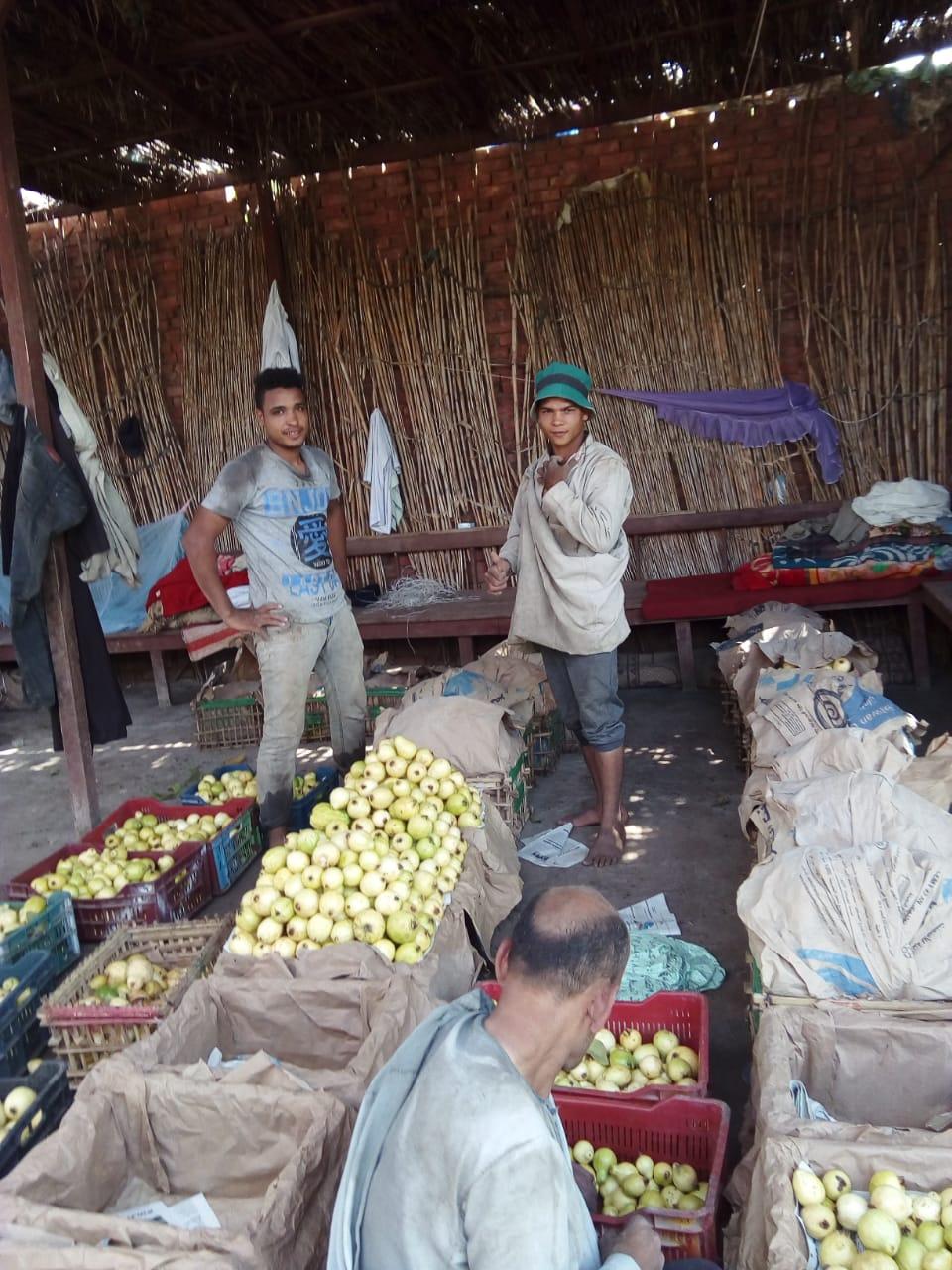 جنى محصول الجوافة (3)