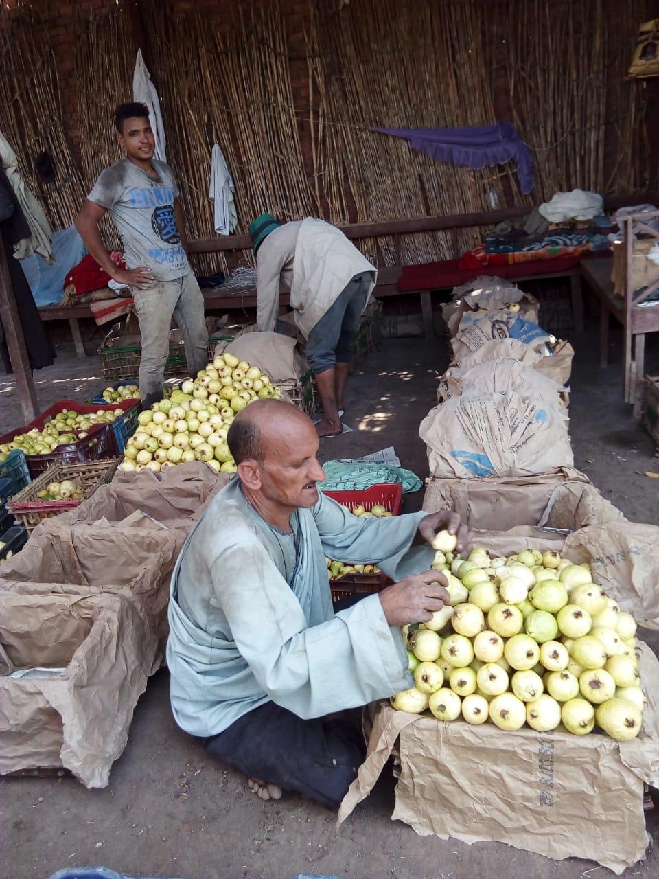 جنى محصول الجوافة (27)