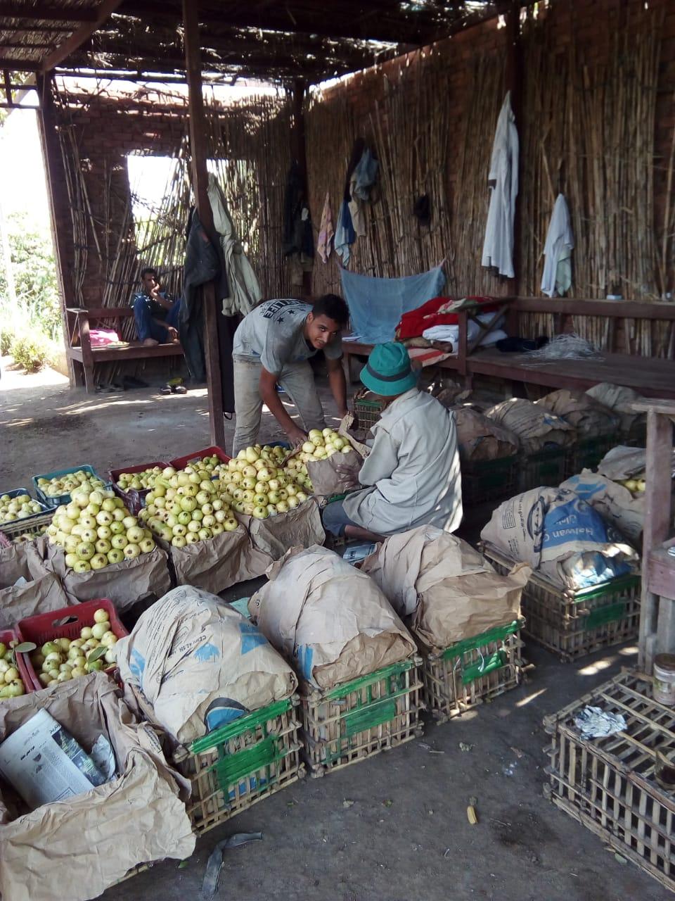 جنى محصول الجوافة (9)
