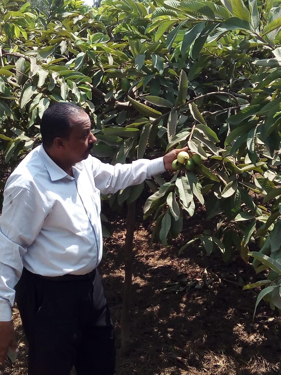 جنى محصول الجوافة (12)