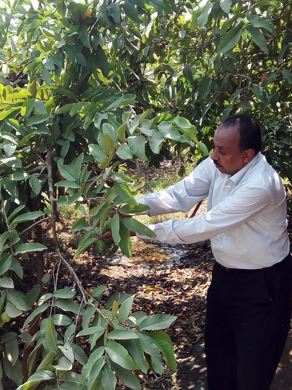 جنى محصول الجوافة (25)