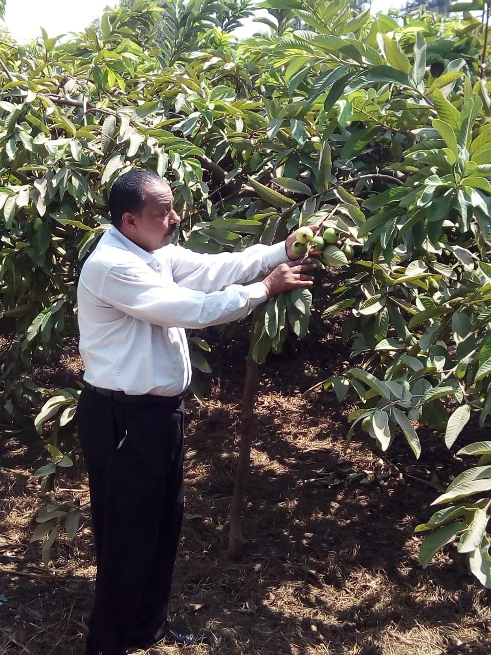 جنى محصول الجوافة (15)