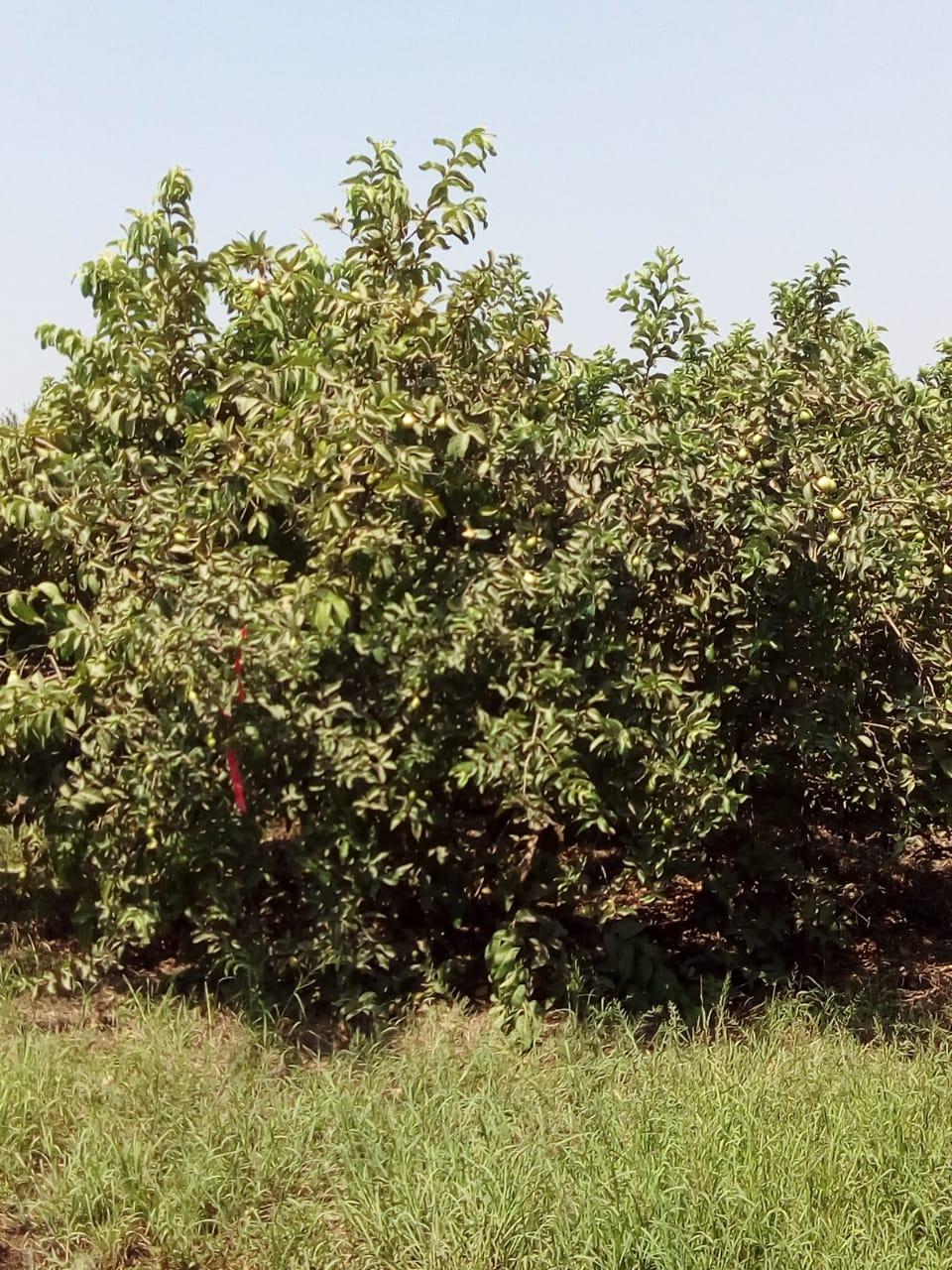 جنى محصول الجوافة (21)