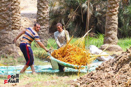 حصاد البلح (18)