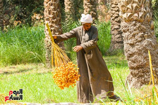 حصاد البلح (27)