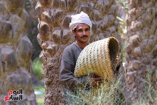 حصاد البلح (3)