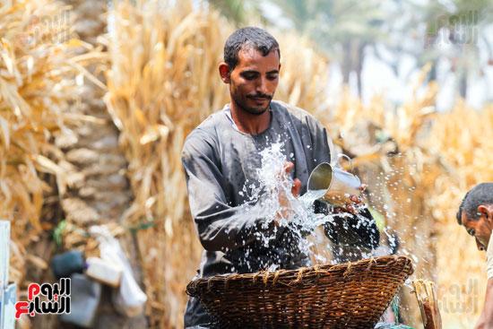 حصاد البلح (48)