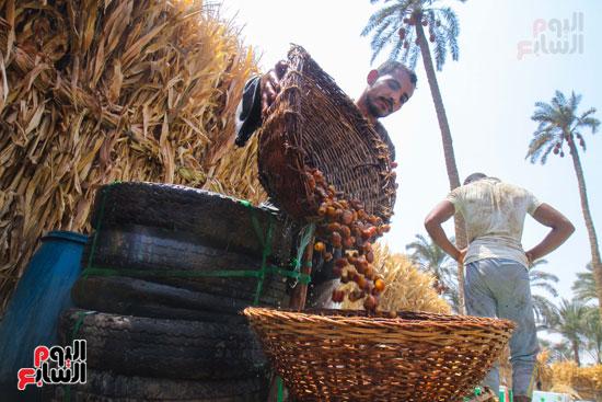 حصاد البلح (43)
