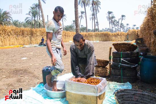 حصاد البلح (51)