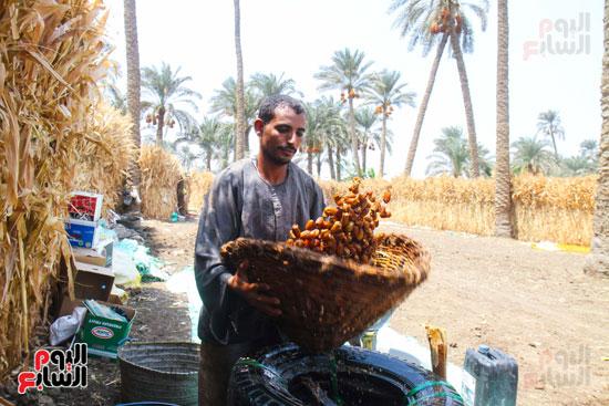حصاد البلح (46)